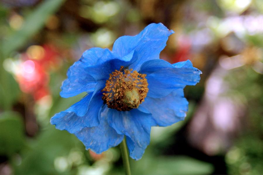 bluepoppy.jpg